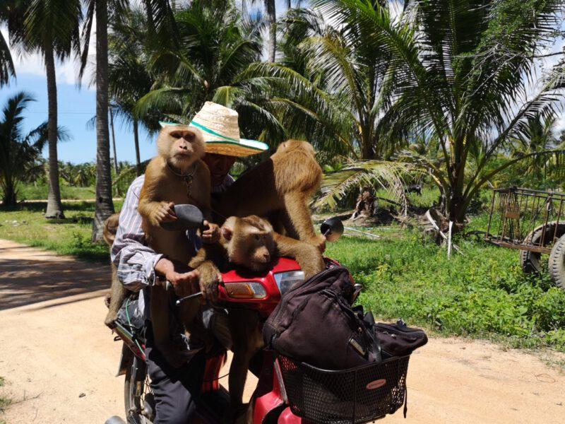 ประจวบคีรีขันธ์  ลิงกังทับสะแก ชาวบ้านยันเลี้ยงเป็นสมาชิกในครอบครัว กินดีอยู่ดี มีความสุขทำงานเก็บมะพร้าวได้มาก เหนื่อยให้พัก ต่างชาติเข้าใจผิดวิถีชีวิตคนสวน