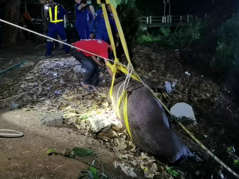 ราชบุรี  เร่งช่วยเจ้าอู๊ดหมูป่าวัดที่ไถ่ชีวิตมาหนัก300โลตกลงไปในคลองอย่างทุลักทุเล